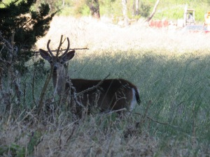 A Deer in Point Reyes Station.